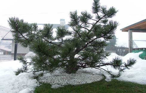 Obroba dreves je odporna na mraz